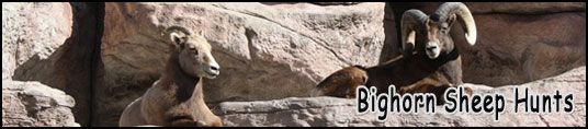 Bighorn Sheep Hunts in the West Elk Wilderness