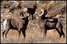 West Elk Wilderness Bighorn Sheep Hunts