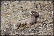 Bighorn Sheep Hunting with Tenderfoot Outfitters Gunnison